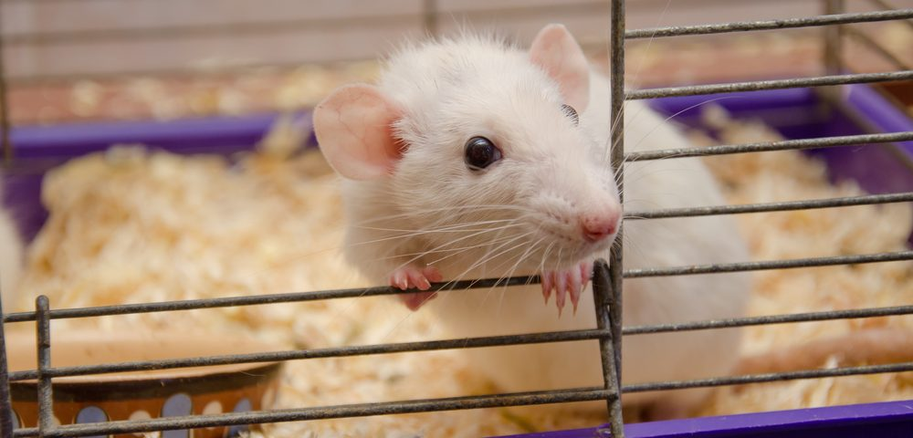 New Strategy Used in Fabry Mouse Model Holds Potential for Gene Therapy